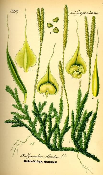 Плаун булавовидный ликоподий lycopodium