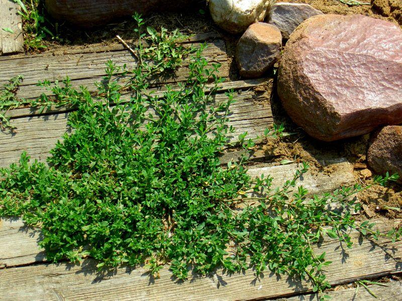 Растение спорыш описание и фото